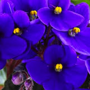 African Violet Society Show