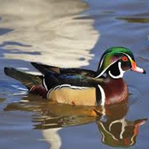 Wood Duck Wander